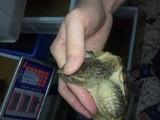 黄壳杂佛鳄鱼龟,12到14厘米,全品,包风险!可拍照