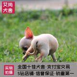 萌宠宠物活体幼犬出售吉娃娃纯种血统大眼睛幼犬茶杯犬狗狗出售