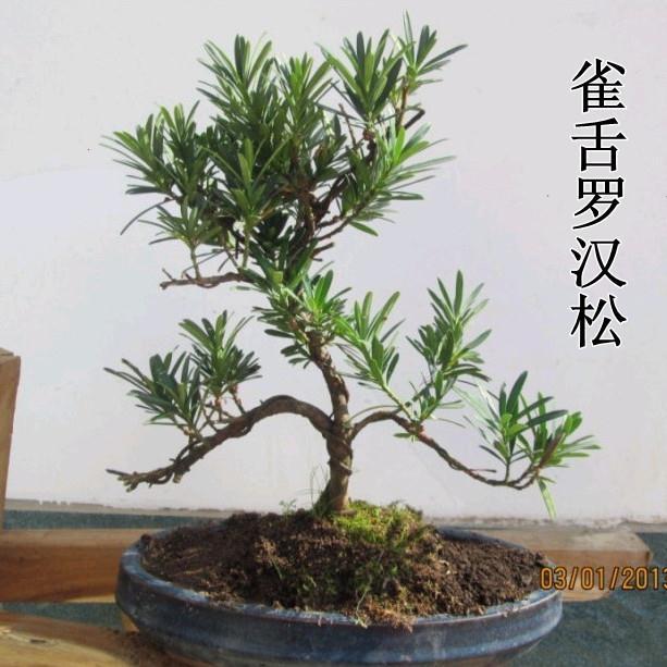 雀舌罗汉松 小叶罗汉松 罗汉松盆景 罗汉松树桩 实拍商品图片价格图片