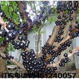 葡萄树苗 树葡萄 嘉宝果-果树苗 盆栽 庭院植物 当年结果苗、