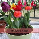满18元包邮 郁金香种球花卉花种子绿植盆栽球根花卉 可开花种球