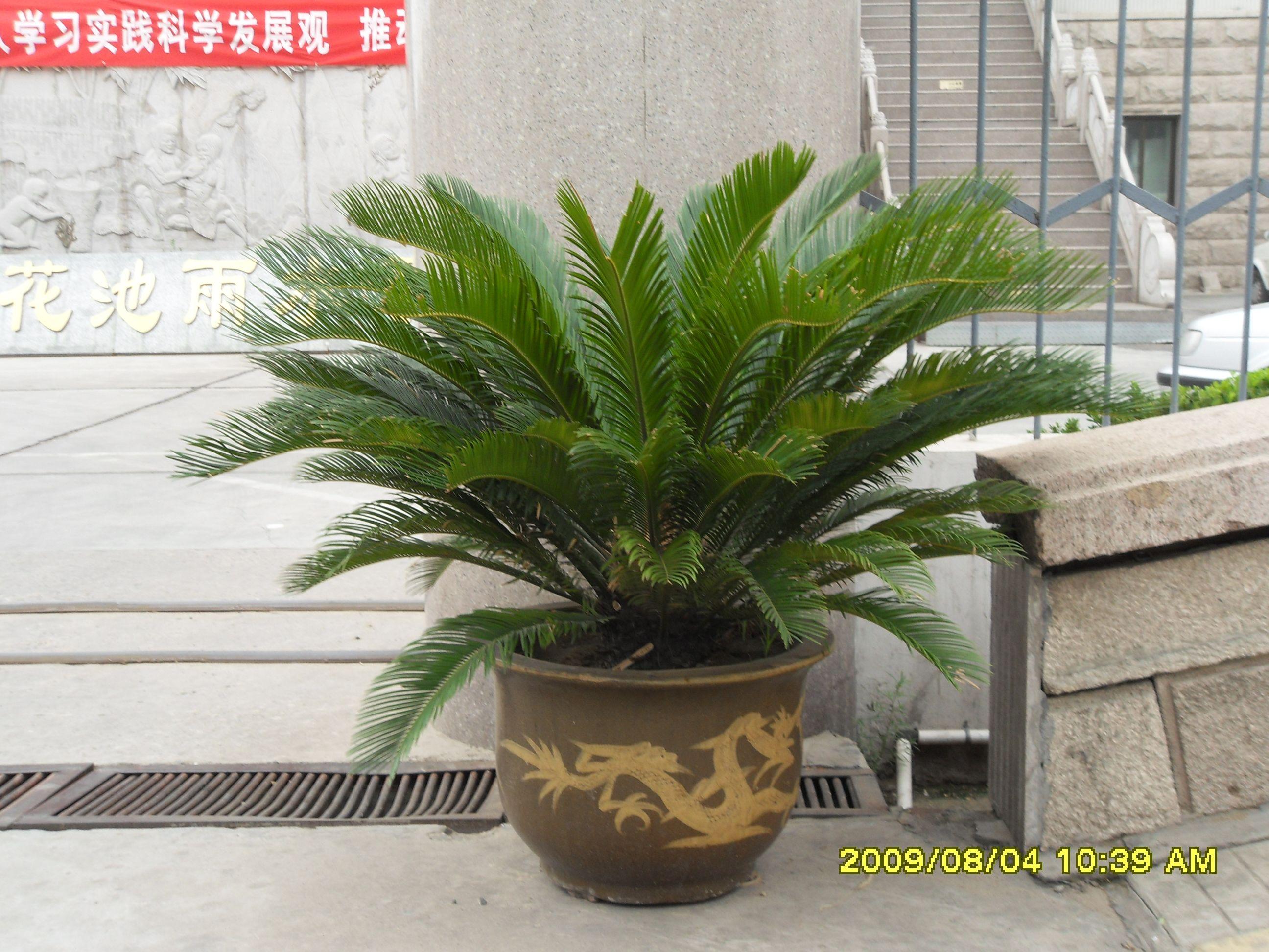 铁树价格_天然花卉 四季常青 铁树苏铁 吸甲醛商品亚博app官方下载价格