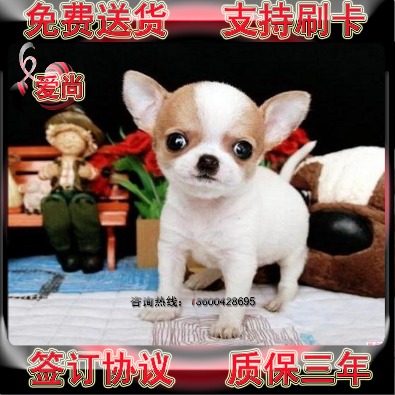 吉娃娃狗价格_出售茶杯苹果头吉娃娃犬吉娃娃超小型犬宠物狗吉娃娃a96商品图片价格