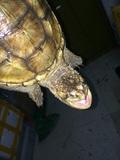 大黄爆刺杂佛鳄鱼龟、鳄鱼龟、佛鳄龟,进口大鳄龟小鳄龟3到4斤