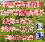 新鲜桑叶蚕宝宝嫩桑叶 小蚕最爱饲料 嫩桑叶子500g 有桑树苗包邮