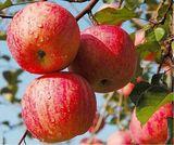 新疆阿克苏 红旗坡冰糖心苹果树苗 新鲜水果 脆 甜大型苹果苗包邮