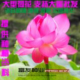 大型荷花种子 观赏荷花碗莲花籽 池塘专用莲藕种 已开口 水生花卉