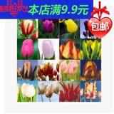 包邮郁金香种球四季种郁金香种子室内花卉郁金香球根进口水培盆栽