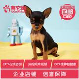 有它网 宠物狗狗纯种迷你小鹿犬幼犬出售活体杜宾犬小鹿狗包健康4