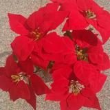 仿真一品红圣诞花假花绢花盆景花卉盆栽厂家直销包邮绿植工程装饰