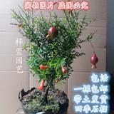 花卉 月季石榴苗 四季石榴树苗盆景 盆栽石榴 庭院植物 石榴苗木