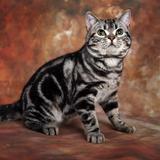 [喵星部落]标准银虎斑美短种公DD-美国短毛猫银虎斑
