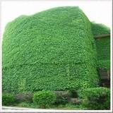 爬藤绿化植物【青叶蔓】小叶扶芳藤 四季常绿 生长快庭院盆栽花卉