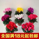 仙客来种球花卉盆栽 仙客来大苗带花年宵花卉仙客来花苗 四季开花
