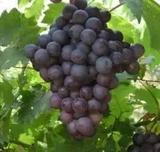 葡萄树苗 树葡萄嘉宝果-果苗 盆栽植物 果树苗木 当年结果