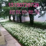 风雨兰 韭菜兰葱兰花苗种球花卉室内庭院盆栽花卉四季开花成活高