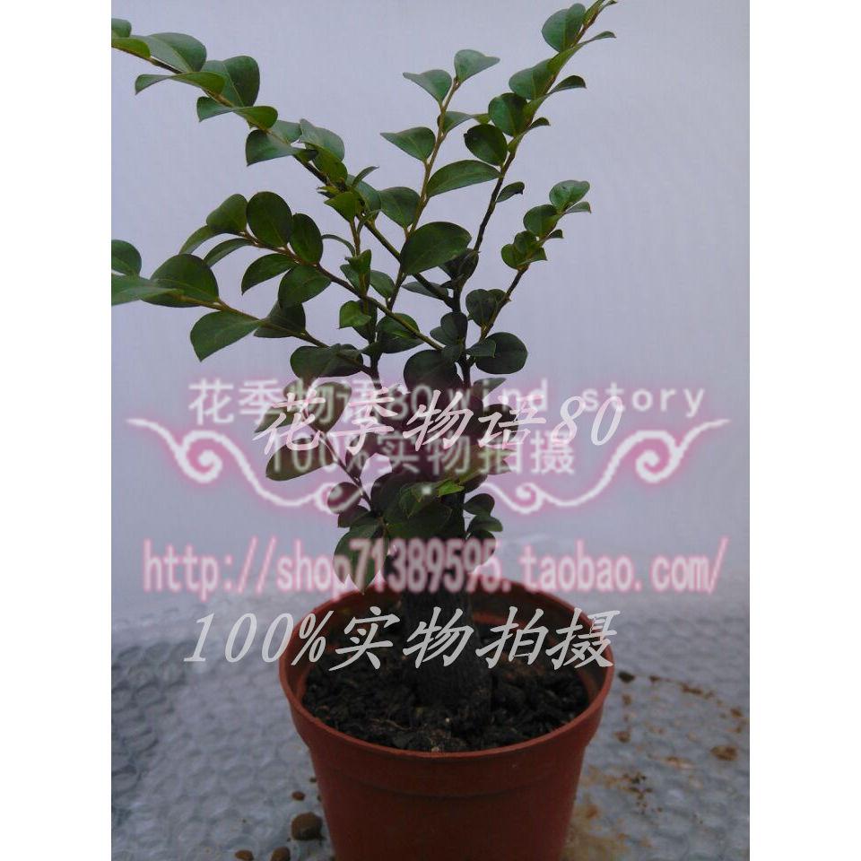 小叶紫檀盆景 限时特卖图片