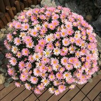 Small Daisy seed easy to explode basin Four seasons easy to live flowering continuous indoor and outdoor flower plant flower seed potted plants