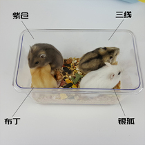 Hamster living a pet three-line purple warehouse pudding silver fox a male and a female cute couple baby hamster living creatures