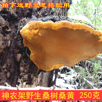 Wild Mulberry Mulberry yellow fungus Shennongjia pruning non-Tibetan Phnom Penh authentic sang Huang 250 grams of Sang Huang