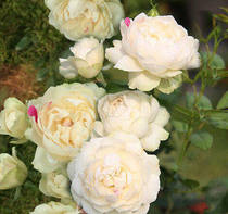 New shrub rose white peach strawberry Parfum upright long stripes flowering machine four seasons flowering roses