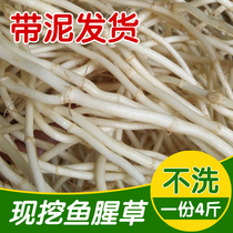 Houttuynia fresh now dig ear fold ear root tea imitation wild planting knot root fish star grass 1 Part 4 pounds