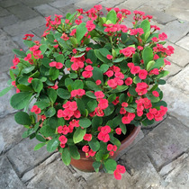 Wholesale Tiger thorn plum iron Begonia with a good four seasons flowering potted seedlings with buds with soil delivery