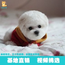 Hairy small body cute big dog than bear cup pure breed puppies mini pet short