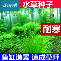 Aquatic plants seed freshwater rambutan landscape foreground underwater package real class grass seed purification pond green algae ball