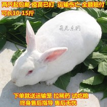 Rabbit rabbit rabbit living creatures New Zealand White Rabbit giant edible meat rabbit live a pair of young rabbit rabbit seedlings