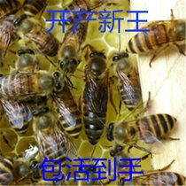 Middle Bee queen Bee Seed King High Yield bee queen bee living spawning king two-color hybrid place Queen