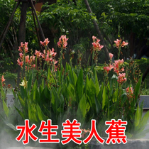 Aquatic Flower plant plantain seed lotus blue flower iris yellow Acorus malan reed thousand flexor cuisine