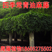 Four Seasons Evergreen climbing vine climbing plant tree species Oil hemp vine seeds Niuo Mato blood vine flower Evergreen