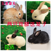 Rabbit living midget mini White wild black lop pet hairy rabbit living baby panda princess living