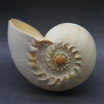 Sea snail can listen to the sound of the Sea Gold Snail Shell can blow the conch home decoration crafts gifts