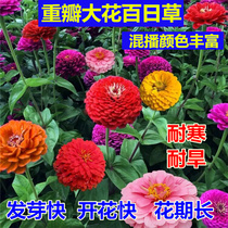 Autumn and winter sowing outdoor easy live hundred grass flower seeds four seasons sowing heat drought-resistant flowers cold flower seedlings four seasons flowering