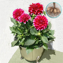 Dali ball root flower daly chrysanthemum seedling daly flower seed melon flower root root block flower green plant potted plant.
