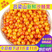 Sea buckthorn fruit fresh fruit Wild Premium Selection Lvliang vinegar Willow mountain authentic sea buckthorn enzyme juice 11 pounds special