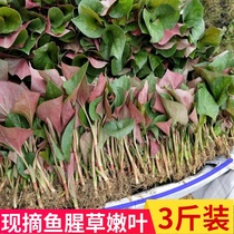 Wild folded ear Root leaves fresh red leaves houttuynia seed stems fish star Sichuan Fish new grass 3 pounds
