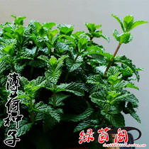 Edible mint seed cat mint Lemon Mint Farm flower seed Spring Four Seasons sowing vegetable seeds