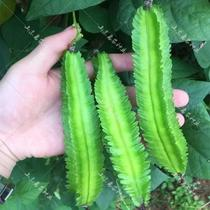Hao Four-Ring Emperor's seed farmer's bean four-year four-corner potted terrace bean seed bean-scent dragon bean seed vegetables veget