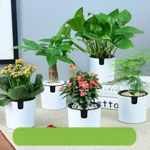 Domestic plants domestic flower potted flower indoor room plant four seasons bedroom easy to raise desk green plants